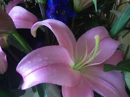 lilies flower 3 facts about lilies freytags florist