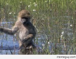 Baboon Meme - baboon river crossing meme guy