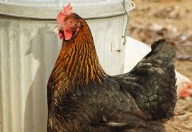 best egg laying chickens hobby farms