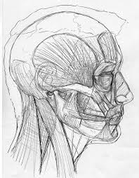 side view skin muscles skull by stevegibson on deviantart