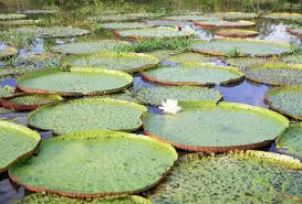 Adaptations Of Tropical Rainforest Plants - the amazon water lily adapted to the river u0027s rise and fall