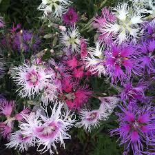 dianthus flower dianthus flower seeds heirloom dianthus flower seeds