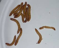 a great science activity working with mealworms homeschool den