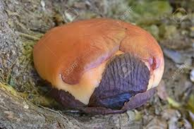 largest flower in the world the cabbage of rafflesia flower ther largest flower in the world