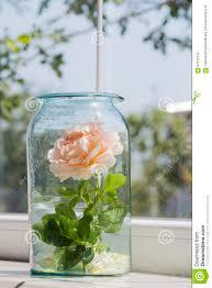 blooming rose in glass jar near window stock photo image 67012412