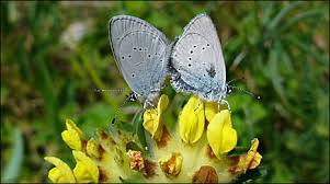 small blue butterfly is in the pink in torbay