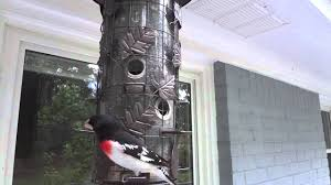 how to watch birds eat black oil sunflower seed pt 1 2 d youtube