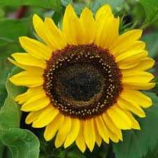 sunflower seed packets sunflower seeds sunflower seeds in bulk or packets for planting