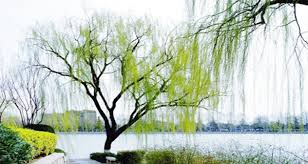 willows in march are more than a messenger
