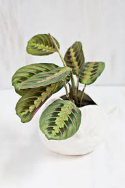 unique indoor planters 7 unique non toxic houseplants prayer plant rabbit tracks and