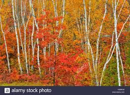 white birch tree woodland in autumn colour at laurentian