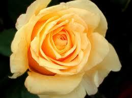 beautiful yellow roses amazing yellow flowers images beautiful