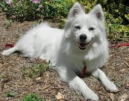 american eskimo dog in india eskie the american eskimo american eskimo dog pinterest