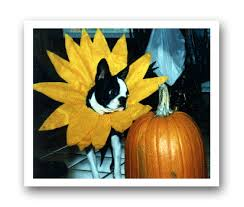 Sunflower Halloween Costume Boston Terrier Halloween Costumes