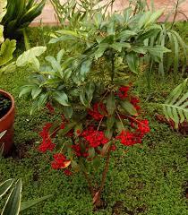 australian native indoor plants plants u0026 flowers christmas berry