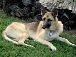 belgian sheepdog rescue trust facebook va dog rescue september 2012