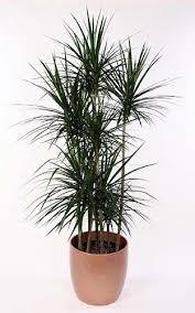 Low Light Indoor Trees 62 Best Plants Images On Pinterest Indoor Gardening Plants And