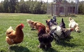 best backyard chicken amusing backyard laying chickens with best backyard chickens