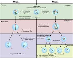 week 18 mitosis meiosis mrborden u0027s biology rattler site room 664
