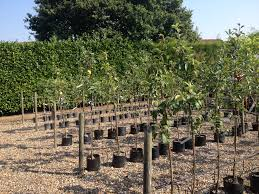 ornamental fruit tree specialists crown nursery suffolk