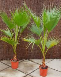 Patio Fruit Trees Uk by Deal Mexican Fan Palms Washingtonia Robusta For Patio Or Deck