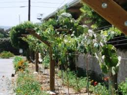 Planting Grapes In Backyard The Complete Grape Growing System Review U2013 Growing Guide Ixivixi