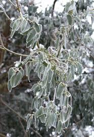 winter damage in eucalyptus how to fix cold damaged eucalyptus