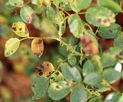 Plant Diseases With Pictures - best 25 rose diseases ideas on pinterest rose bush care prune
