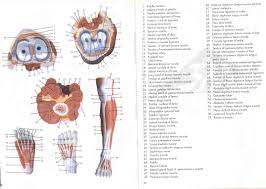 Lab Practical Anatomy And Physiology Muscle Anatomy Lab Practical Human Anatomy Body
