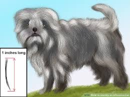 affenpinscher terrier mix how to identify an affenpinscher 13 steps with pictures