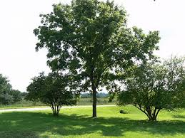 13 trees you should never plant in your yard home and gardening