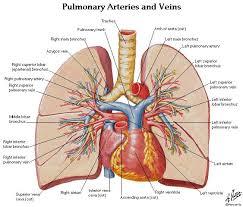 Heart Anatomy Arteries Human Anatomy Diagram Learn About Human Lung Anatomy Human Lung