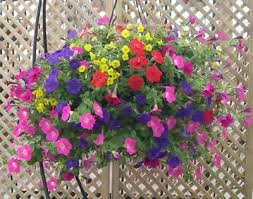 Best Plants For Hanging Baskets by Fundraising Spring Bedding Perennials