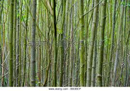 thin tree trunks stock photos thin tree trunks stock images alamy