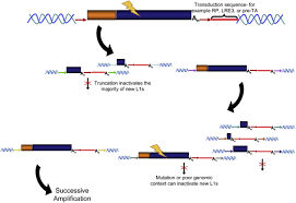 line 1 retrotransposition activity in human genomes cell