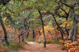 Pine forest massachusetts search in pictures