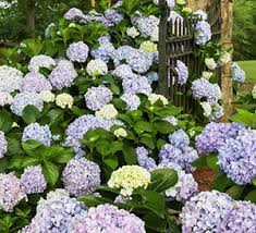 Hydrangea Flowers Step By Step Drying Hydrangea Flowers Southern Living Plants