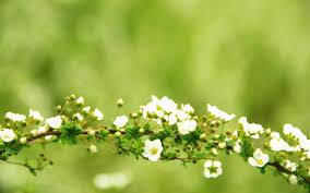 branch branch branches branch flowers flower flowers bloom tree