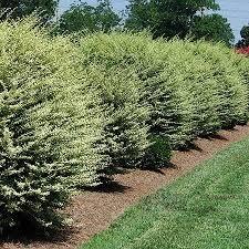Backyard Privacy Trees Best 25 Privet Hedge Ideas On Pinterest Hedge Fence Ideas