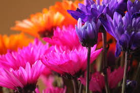 flower tulips pink vibrant field flowers purple picture wallpaper
