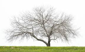 dead oak tree stock image image of single branches 56252553