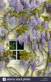 wisteria sinensis australian bush flower wisteria window stock photos u0026 wisteria window stock images alamy