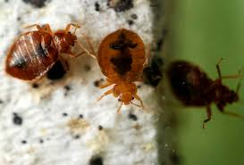 How To Check For Bed Bugs At Hotel How To Check For Bed Bugs In Hotels Or Your Hostel Mattress