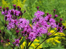 native plants for clay soil our top 10 favorite maryland native pollinator perennials