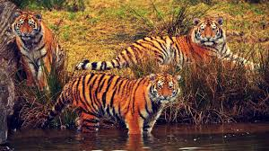 bengal tiger livebinder