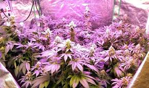 best led grow lights for marijuana best plant growing lights best of plant grow lights and exle of