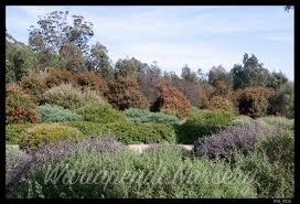 australian native hedging plants garden design native plant and revegetation specialists