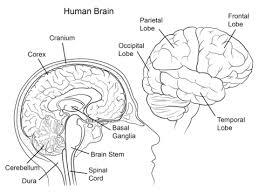 Human Brain Anatomy Coloring Page Free Printable Coloring Pages Brain Coloring Page