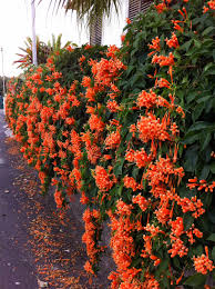 trumpet vine this could also go on the fence blooms in late