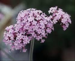 Verbena Flower Tall Verbena Umass Amherst Greenhouse Crops And Floriculture Program